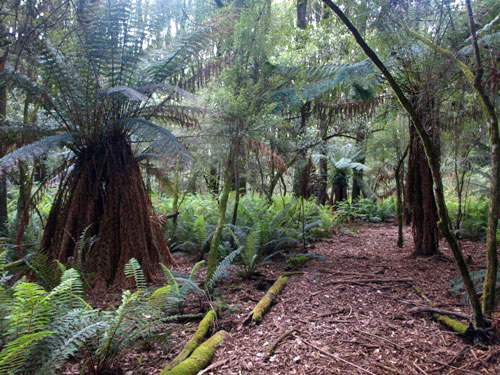 Tree Fern Gully at Tarra Bulga N.P.