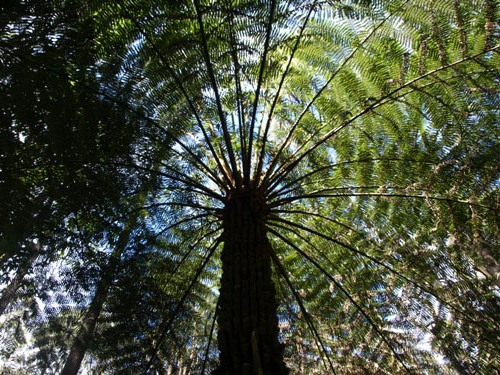 Tree Fern at Tarra Bulga