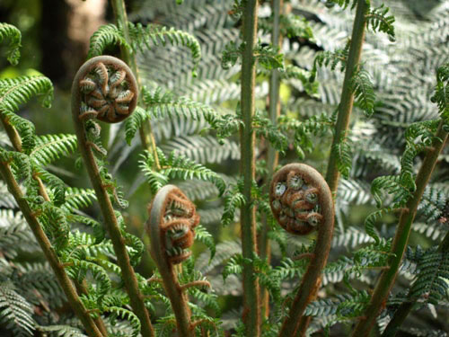New Ferns at Tarra Bulga