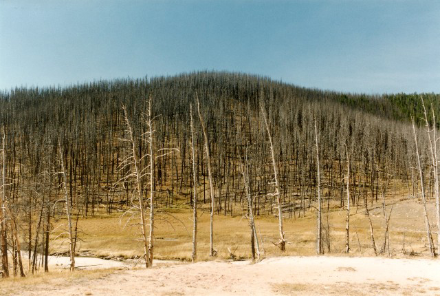 Burned out skeletal trees, Yellowstone
